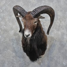 Black Hawaiian Coriscan Ram Mount #12194 For Sale @ The Taxidermy Store