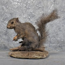 Vintage Black Squirrel Mount #11834 For Sale @ The Taxidermy Store