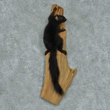 Climbing Black Squirrel Life Size Mount #13428 For Sale @ The Taxidermy Store