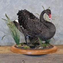 Black Swan Taxidermy Bird Mount For Sale