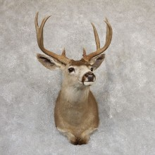 Columbian Blacktail Deer Shoulder Taxidermy Mount For Sale