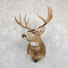 Black-tailed Deer Shoulder Mount For Sale #19546 @ The Taxidermy Store