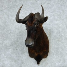 Black Wildebeest Taxidermy Shoulder Mount For Sale