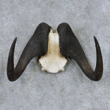 Black Wildebeest Skull Horns Mount For Sale #13922 For Sale @ The Taxidermy Store