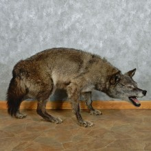 Black Wolf Life-Size Taxidermy Mount #12961 For Sale @ The Taxidermy Store