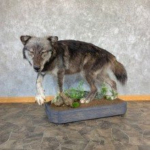 Black Alaskan Gray Wolf Life-Size Mount For Sale #21737 @ The Taxidermy Store