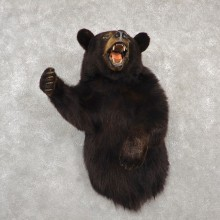 Black Bear 1/2-Life-Size Mount For Sale #18776 @ The Taxidermy Store