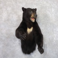 Black Bear 1/2-Life-Size Mount For Sale #22181 @ The Taxidermy Store
