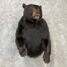 Black Bear 1/2-Life-Size Mount For Sale #23090 @ The Taxidermy Store