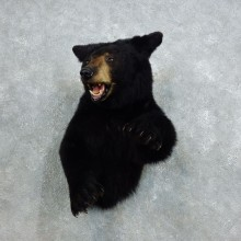 Black Bear 1/2-Life-Size Mount For Sale #18392 @ The Taxidermy Store