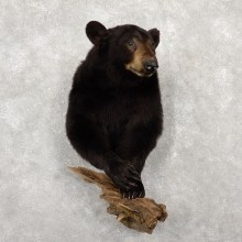 Black Bear Half-Life-Size Taxidermy Mount #18774 For Sale @ The Taxidermy Store