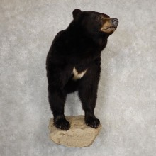 Black Bear Half-Life-Size Taxidermy Mount #21061 For Sale @ The Taxidermy Store
