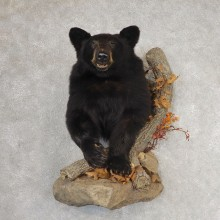 Black Bear Half-Life-Size Taxidermy Mount #21062 For Sale @ The Taxidermy Store
