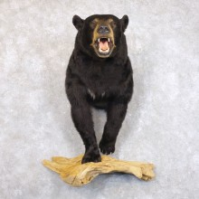 Black Bear Half-Life-Size Taxidermy Mount #22241 For Sale @ The Taxidermy Store