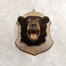 Black Bear Head Taxidermy Mount For Sale #20496 @ The Taxidermy Store