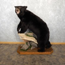 Black Bear Life-Size Mount For Sale #18760 @ The Taxidermy Store