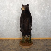 Black Bear Life-Size Mount For Sale #18763 @ The Taxidermy Store