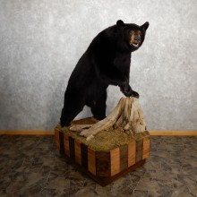 Black Bear Life-Size Mount For Sale #19779 @ The Taxidermy Store