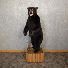 Black Bear Life-Size Mount For Sale #19915 @ The Taxidermy Store
