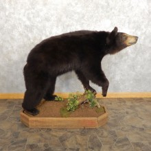 Black Bear Life-Size Mount For Sale #21454 @ The Taxidermy Store