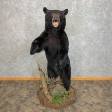 Black Bear Life-Size Mount For Sale #22078 @ The Taxidermy Store