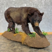 Black Bear Life-Size Mount For Sale #23187 @ The Taxidermy Store