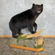 Black Bear Life-Size Mount For Sale #23226 @ The Taxidermy Store