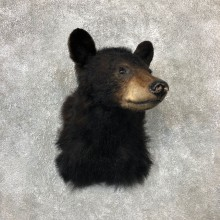 Black Bear Shoulder Mount For Sale #19288 @ The Taxidermy Store
