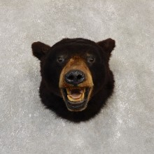 Black Bear Shoulder Mount For Sale #20103 @ The Taxidermy Store