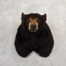 Black Bear Shoulder Mount For Sale #20780 @ The Taxidermy Store