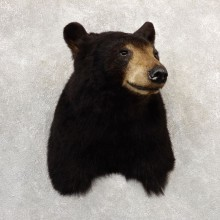 Black Bear Shoulder Mount For Sale #20781 @ The Taxidermy Store