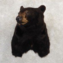 Black Bear Shoulder Mount For Sale #20783 @ The Taxidermy Store