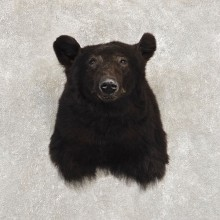Black Bear Shoulder Mount For Sale #21410 @ The Taxidermy Store