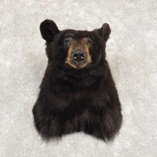 Black Bear Shoulder Mount For Sale #21411 @ The Taxidermy Store