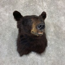 Black Bear Shoulder Mount For Sale #21618 @ The Taxidermy Store