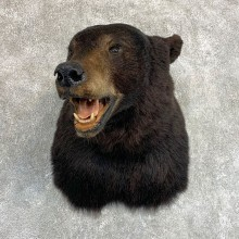 Black Bear Shoulder Mount For Sale #22085 @ The Taxidermy Store