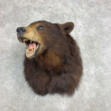 Black Bear Shoulder Mount For Sale #22142 @ The Taxidermy Store