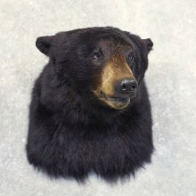 Black Bear Shoulder Mount For Sale #22230 @ The Taxidermy Store