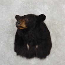Black Bear Shoulder Taxidermy Mount For Sale #19091 @ The Taxidermy Store