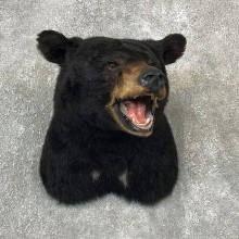 Black Bear Shoulder Taxidermy Mount For Sale #19286 @ The Taxidermy Store