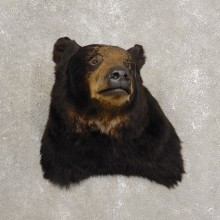 Black Bear Shoulder Taxidermy Mount For Sale #20438 @ The Taxidermy Store
