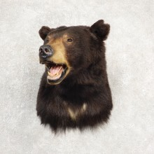 Black Bear Shoulder Taxidermy Mount For Sale #20519 @ The Taxidermy Store