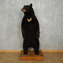 Black Bear Life-Size Taxidermy Mount For Sale