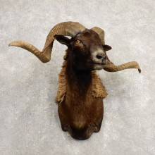 Black Corsican Ram Shoulder Mount For Sale #20485 @ The Taxidermy Store