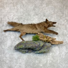 Black Coyote Life-Size Mount #23133 For Sale @ The Taxidermy Store