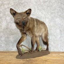 Black Coyote Life-Size Mount For Sale #22205 @ The Taxidermy Store