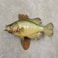 Black Crappie Taxidermy Fish Mount #20837 For Sale @ The Taxidermy Store