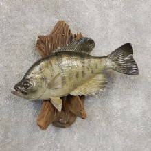 Black Crappie Taxidermy Fish Mount #20924 For Sale @ The Taxidermy Store