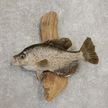 Black Crappie Taxidermy Fish Mount #20926 For Sale @ The Taxidermy Store