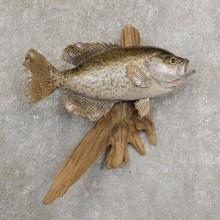 Black Crappie Taxidermy Fish Mount #20927 For Sale @ The Taxidermy Store